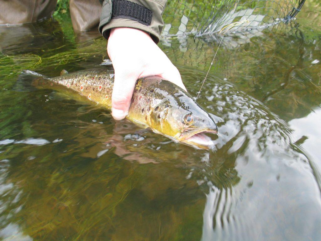 Wild Wensum brown trout